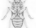 Faerie in the Larder Beetle Disguise (drawing)